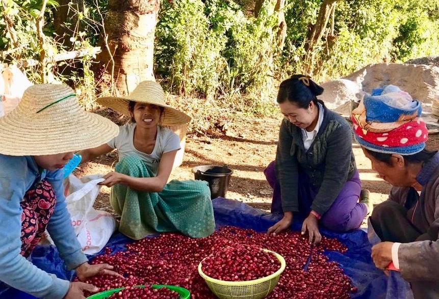Fairtrade coffee workers in Myanmar